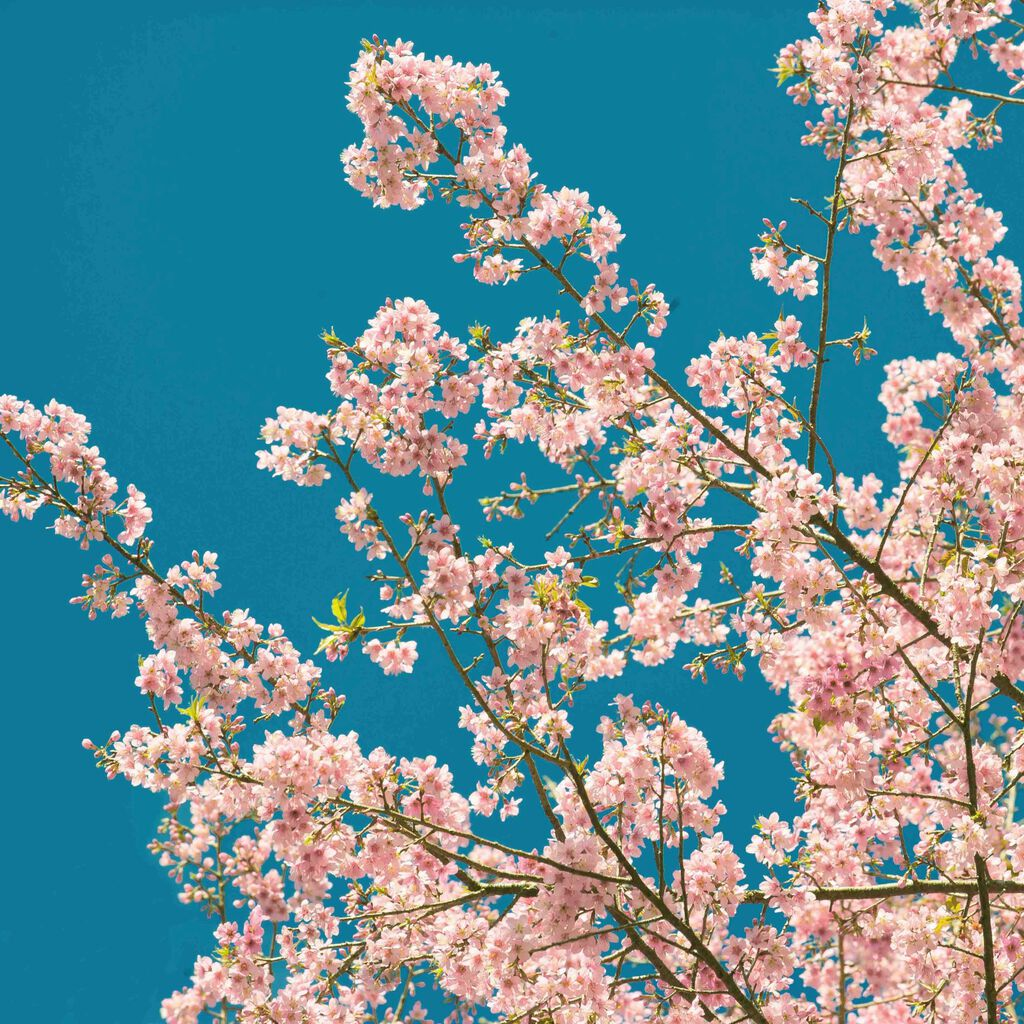 Cherry Blossom Wall Mural, , large